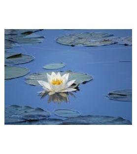 Fragrance fleur d'eau